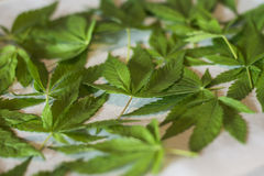 Marijuana leaf. Drying marijuana leaves for tea Stock Images