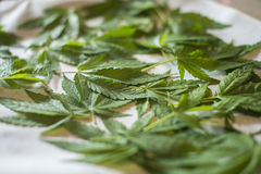 Marijuana leaf. Drying marijuana leaves for tea Royalty Free Stock Photos
