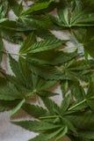 Marijuana leaf. Drying marijuana leaves for tea Royalty Free Stock Image