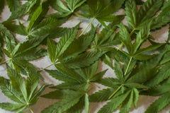 Marijuana leaf. Drying marijuana leaves for tea Royalty Free Stock Photo