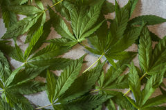 Marijuana leaf. Drying marijuana leaves for tea Stock Photography