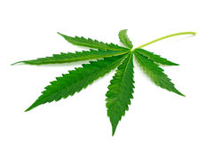 Marijuana leaf. Fresh green marijuana leaf isolated on white background royalty free stock photo