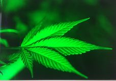 Marijuana leaf. Green marijuana leaf against dark background royalty free stock photos