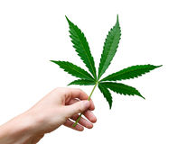 Marijuana leaf. Hand with marijuana leaf isolated on white background stock photo