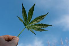 Marijuana leaf with hand. Wild nature blue sky royalty free stock images