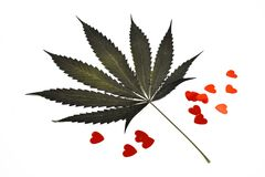 Marijuana leaf with hearts stock images. Green leaf of marijuana. Dried leaf of marijuana on a white background. Romantic marijuana stock images. Valentines Day stock images