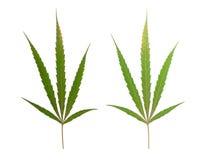 marijuana leaf isolated on white Stock Image