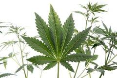Marijuana leaf Royalty Free Stock Images