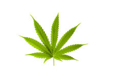 Marijuana leaf isolated on white background Stock Images