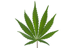 A Marijuana Leaf Isolated. A Wild Marijuana Leaf in India Isolated royalty free stock images