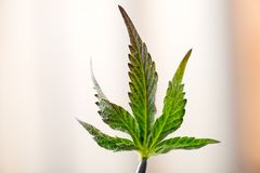 Marijuana leaf. Small leaf of cannabis plant close up stock image