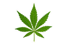 Marijuana leaf on white background. Fresh green marijuana leaf isolated on white background royalty free stock image