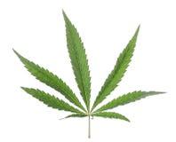 Marijuana leaf on a white background isolate. Royalty Free Stock Photo