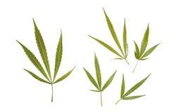 Marijuana Leaves Stock Photography