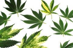 Marijuana leaves for background or logo royalty free stock image