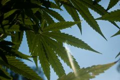 Marijuana leaves in blue sky with glare of sun Royalty Free Stock Photography