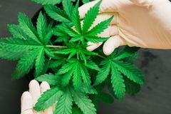 Hand of medical worker and plant and leaves of cannabis macro shot Concepts of recreational use of marijuana stock photography