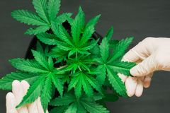 The hand of a medical professional and a beautiful sheet of cannabis macro shot royalty free stock photo