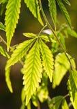 Marijuana leaves Royalty Free Stock Photos