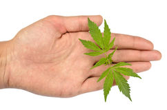 Marijuana leaves in hand Stock Images