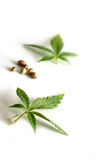 Marijuana Leaves and Seeds. Leaves and seeds from the cannabis plant, hemp, or marijuana on white background Stock Image