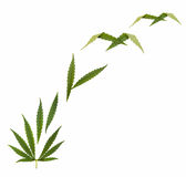 Marijuana legalization  - creative collage, isolated on white. Marijuana legalize - Hemp leaf - Marijuana (Cannabis Royalty Free Stock Photography