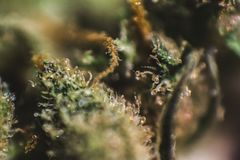 Marijuana médica, cannabis, Sativa, Indica, Trichomes, THC, CBD, cura do câncer, erva daninha, flor, cânhamo, grama, botão Imagens de Stock Royalty Free