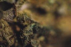 Marijuana médica, cannabis, Sativa, Indica, Trichomes, THC, CBD, cura do câncer, erva daninha, flor, cânhamo, grama, botão Foto de Stock