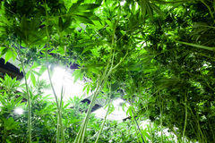 A marijuana médica em um interno cresce a facilidade Foto de Stock Royalty Free