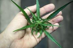 Marijuana In Male Hand royalty free stock photography