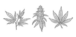 Marijuana mature plant with leaves and buds. Vector engraving illustration. Marijuana mature plant with leaves and buds cannabis. Hand drawn design element Stock Images