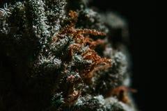 Marijuana medica, cannabis, sativa, indica, tricomi, THC, CBD, cura del cancro, erbaccia, fiore, canapa, grammo, germoglio Fotografie Stock Libere da Diritti