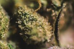 Marijuana medica, cannabis, sativa, indica, tricomi, THC, CBD, cura del cancro, erbaccia, fiore, canapa, grammo, germoglio Fotografia Stock