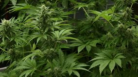 Marijuana medica nazionale della cannabis un giorno piovoso stock footage