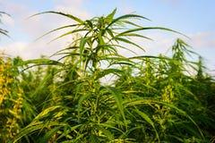 Marijuana nel campo Immagini Stock Libere da Diritti