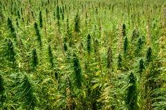 Marijuana på fält royaltyfri foto