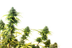 Marijuana plant royalty free stock photo