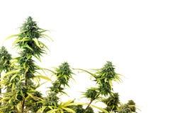Marijuana plant. The top of marijuana plant isolated over white background royalty free stock photo