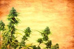 Marijuana plant. Abstract textured top of marijuana plant.Vintage look stock images