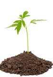 Marijuana plant Royalty Free Stock Photos