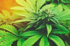 Marijuana Plant royalty free stock photography