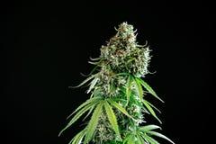 Marijuana cannabis plant royalty free stock photo