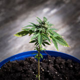 Marijuana plant Royalty Free Stock Images