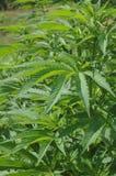 Marijuana plant closeup Stock Images