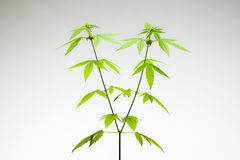 Marijuana plant. female stock photography