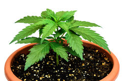 Marijuana plant in flower pot isolated on white background royalty free stock photos