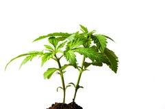 Marijuana plant growing from the ground stock image