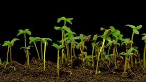 Marijuana Plant Growing stock video footage