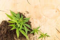 Marijuana plant growing out of fertile land stock photos