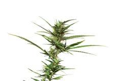 Marijuana plant isolated. Cannabis plant isolated on white Royalty Free Stock Photo
